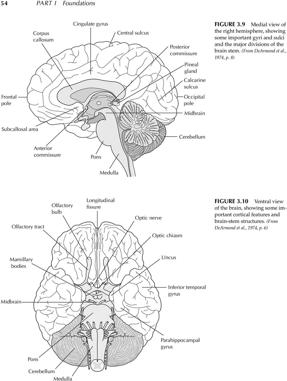 8) Calcarine sulcus Frontal pole Occipital pole Midbrain Subcallosal area Cerebellum Anterior commissure Pons Medulla Olfactory tract Olfactory bulb Longitudinal fissure