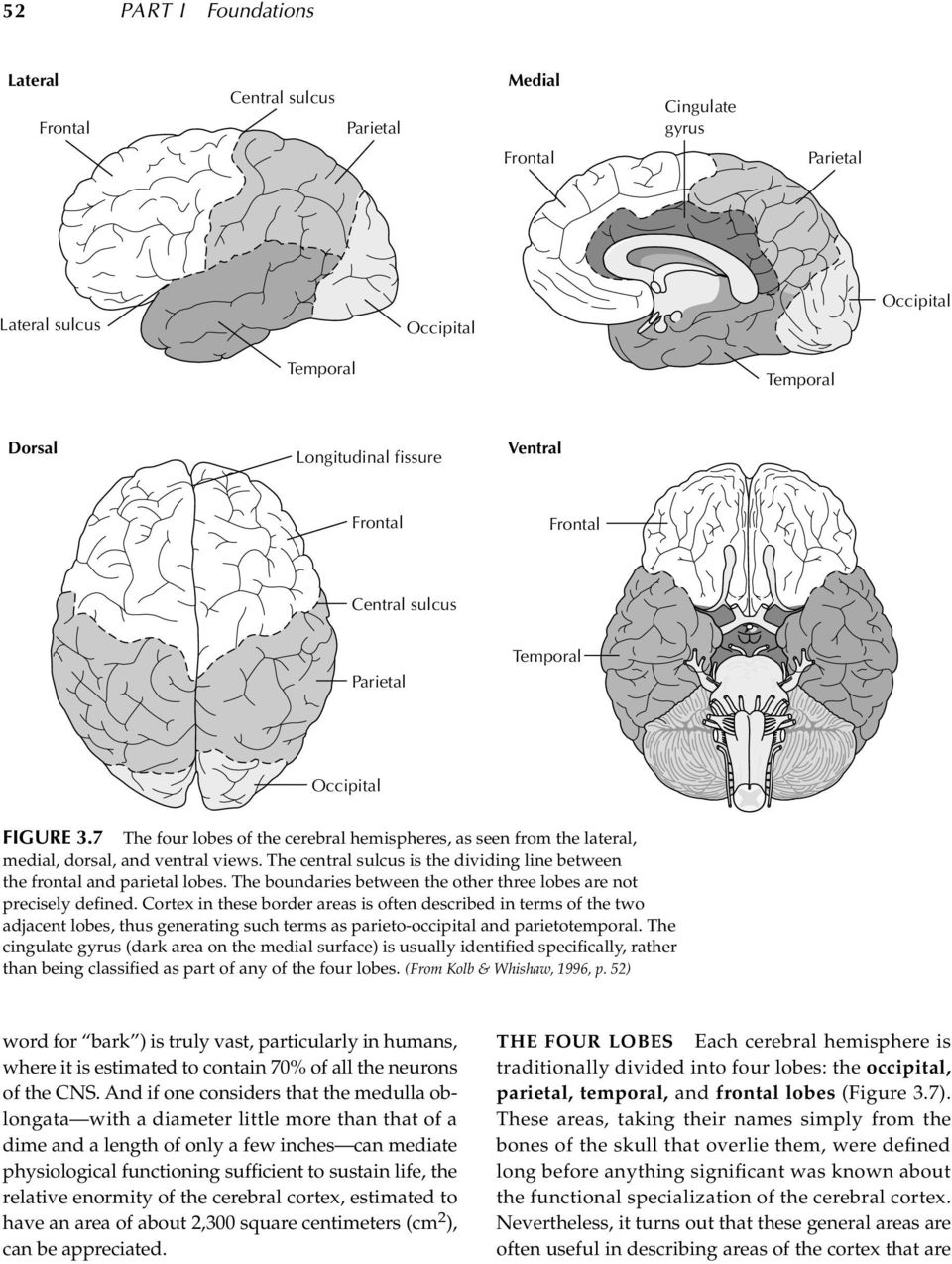 The central sulcus is the dividing line between the frontal and parietal lobes. The boundaries between the other three lobes are not precisely defined.