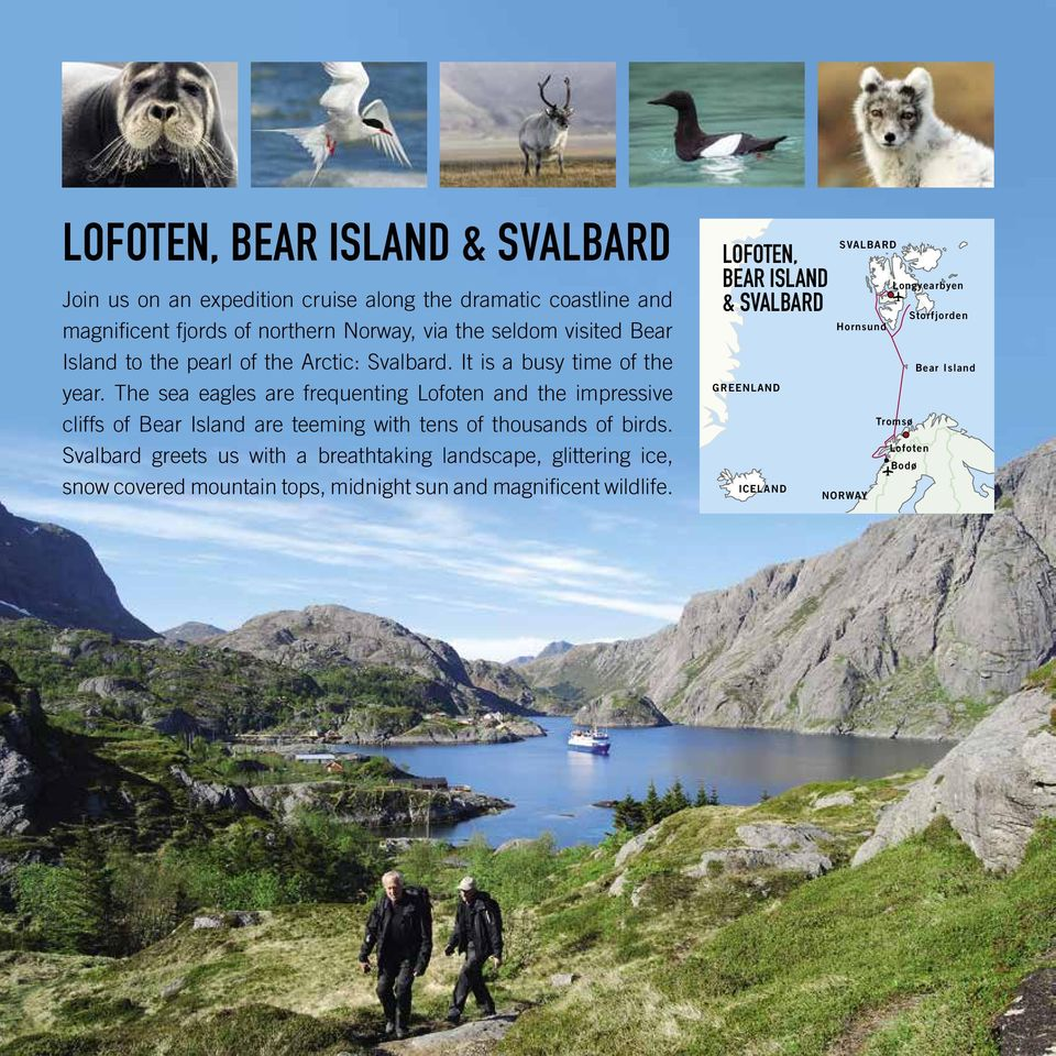 The sea eagles are frequenting Lofoten and the impressive cliffs of Bear Island are teeming with tens of thousands of birds.