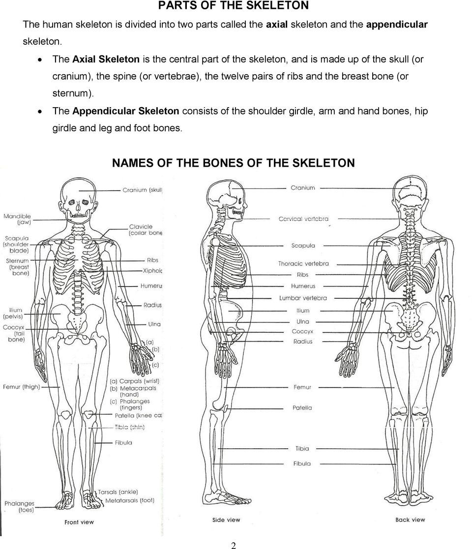 The Axial Skeleton is the central part of the skeleton, and is made up of the skull (or cranium), the spine (or
