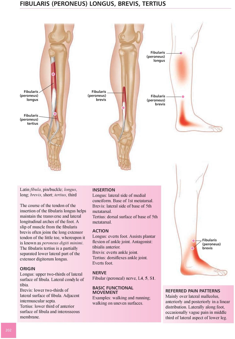Trigger Point Master Course Chapter 12 Muscles Of The Leg And Foot