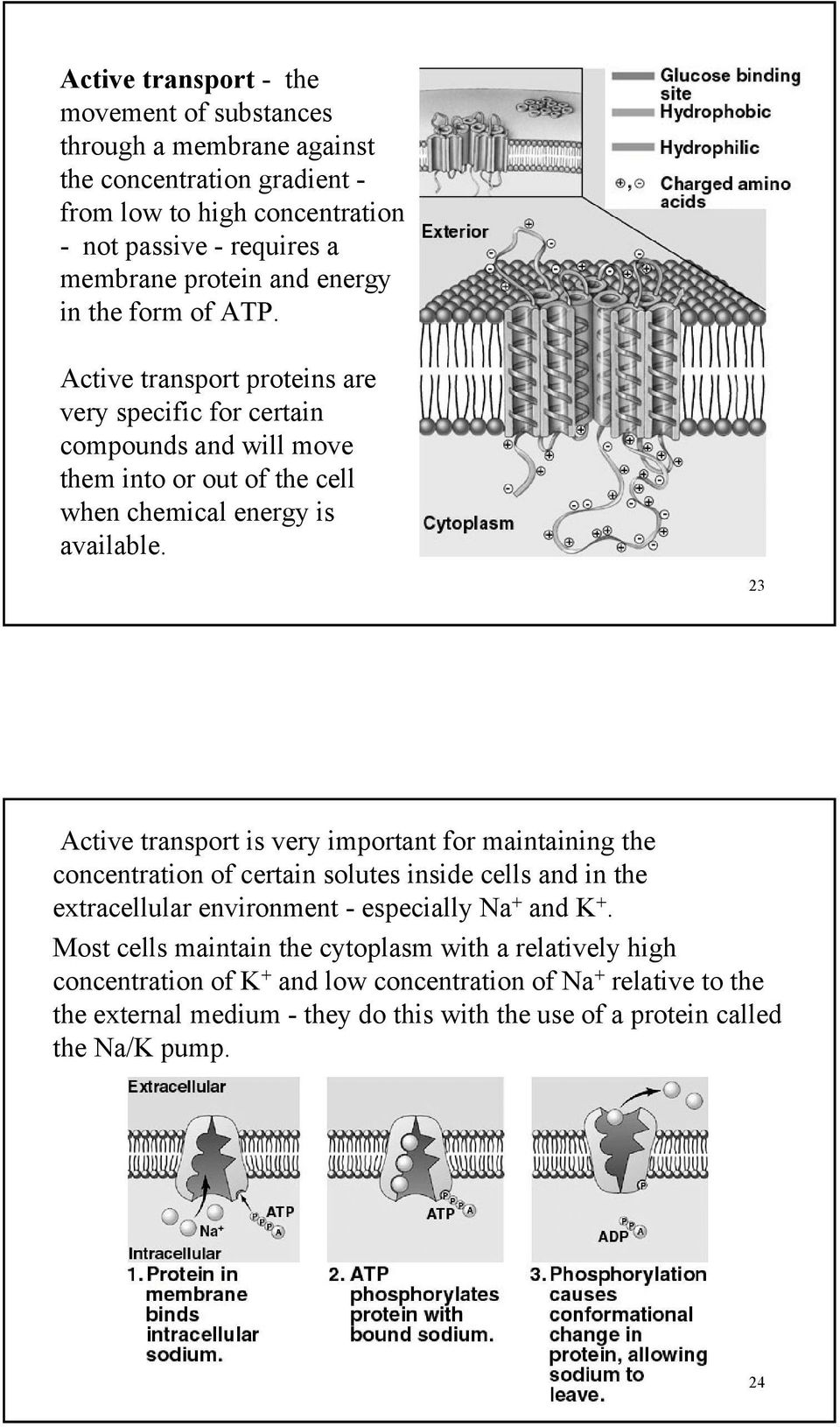 23 Active transport is very important for maintaining the concentration of certain solutes inside cells and in the extracellular environment - especially Na + and K +.