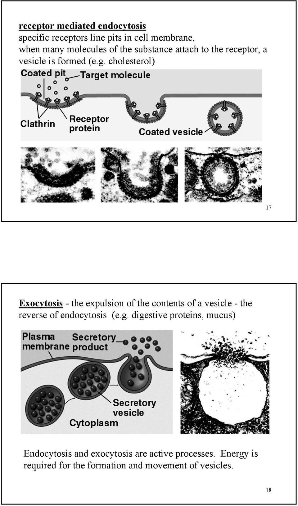 cholesterol) 17 Exocytosis - the expulsion of the contents of a vesicle - the reverse of endocytosis