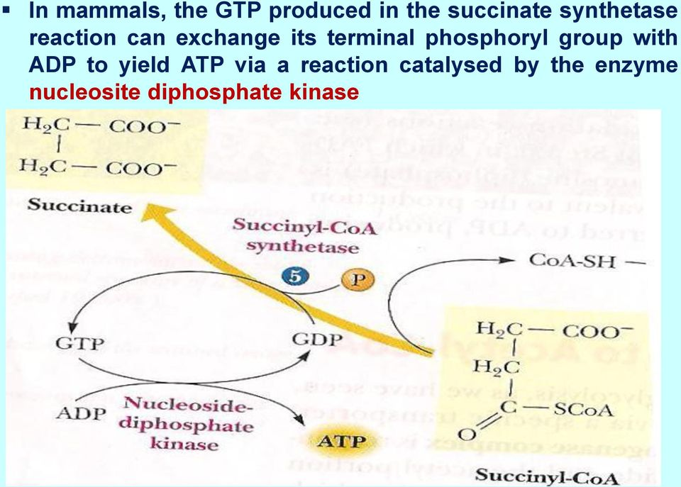 phosphoryl group with ADP to yield ATP via a