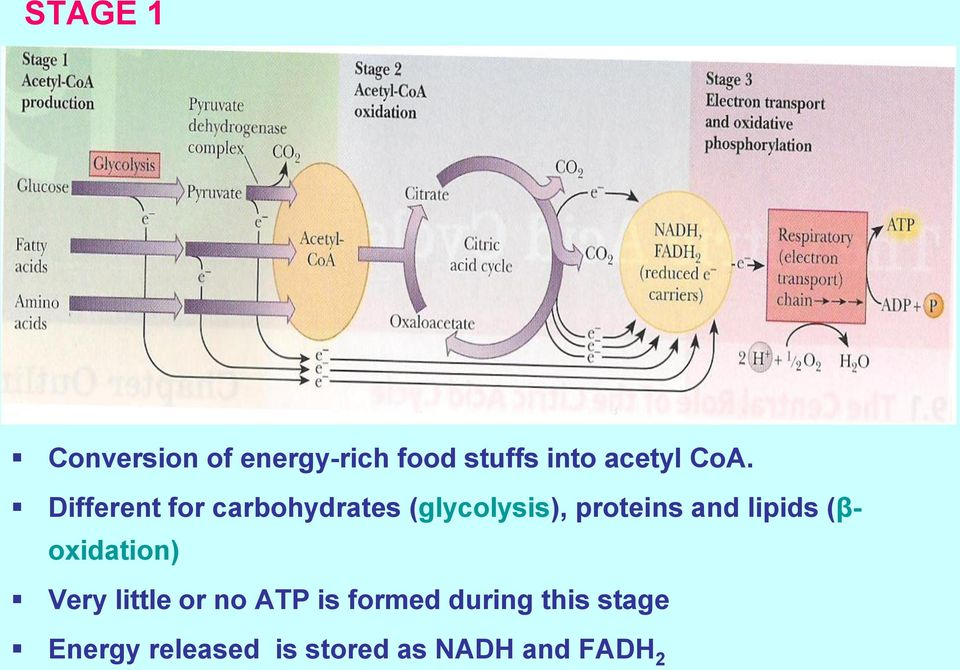 and lipids (βoxidation) Very little or no ATP is formed