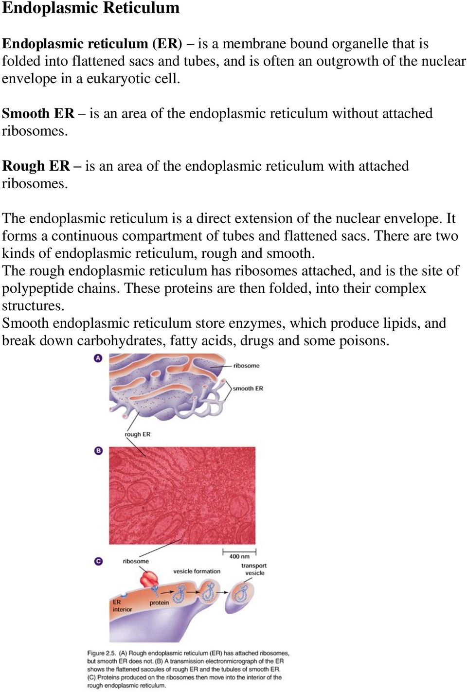 The endoplasmic reticulum is a direct extension of the nuclear envelope. It forms a continuous compartment of tubes and flattened sacs. There are two kinds of endoplasmic reticulum, rough and smooth.
