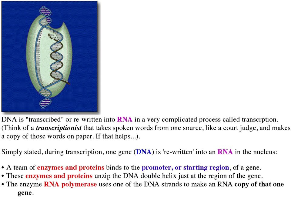 Simply stated, during transcription, one gene (DNA) is 're-written' into an RNA in the nucleus: A team of enzymes and proteins binds to the promoter,