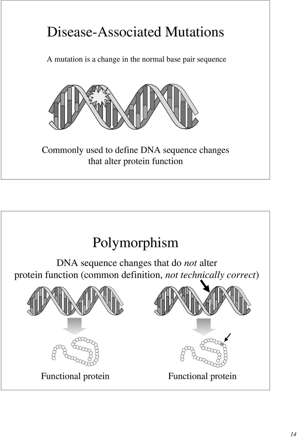 function Polymorphism DNA sequence changes that do not alter protein function