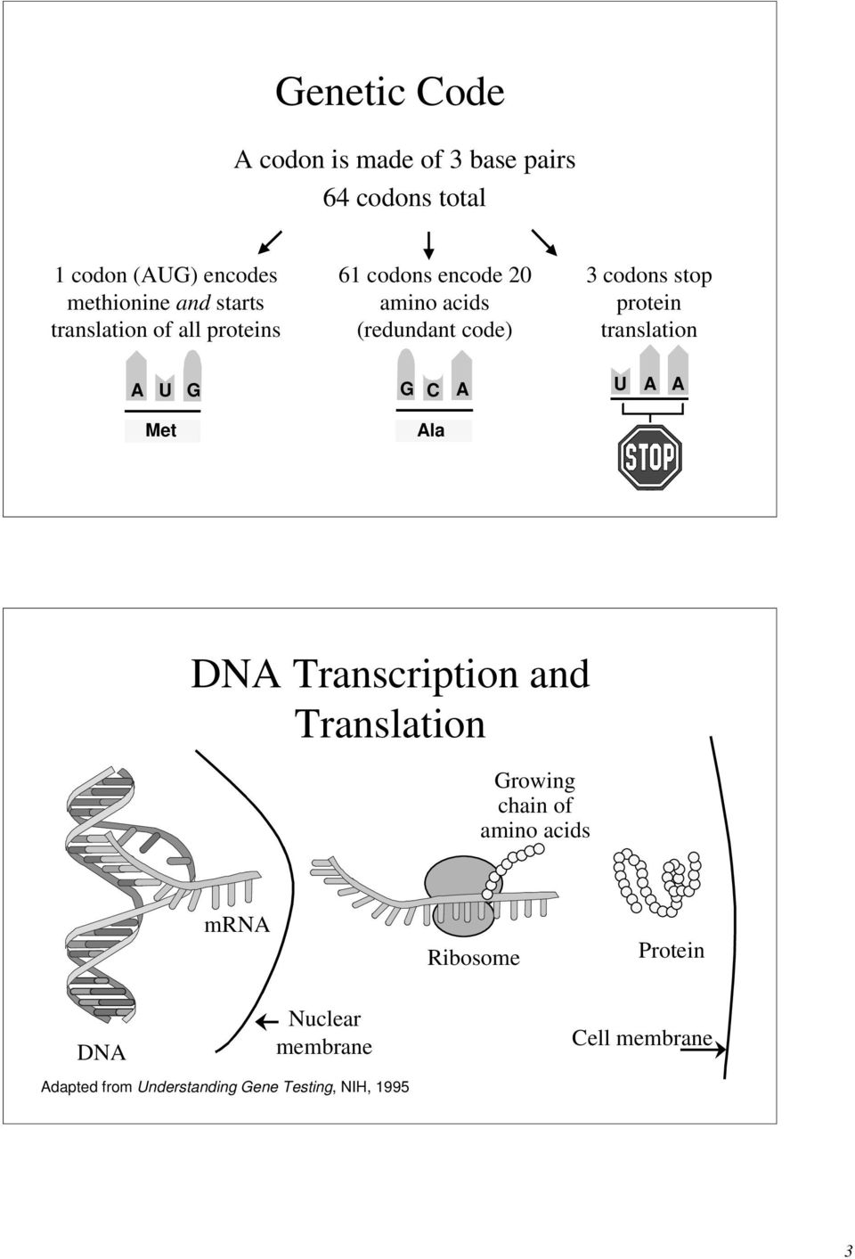 protein translation A U G G A U A A Met Ala DNA Transcription and Translation Growing chain of amino