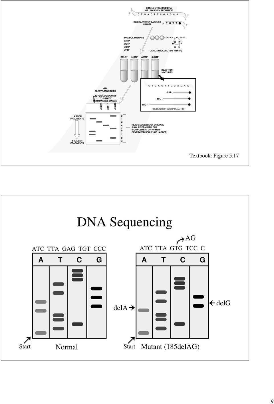ddgtp T G A T T G A A A ddg ddg ddg PRODUTS IN ddgtp REATION LARGER FRAGMENTS SMALLER FRAGMENTS T G A T T G READ SEQUENE OF ORIGINAL SINGLE-STRANDED DNA