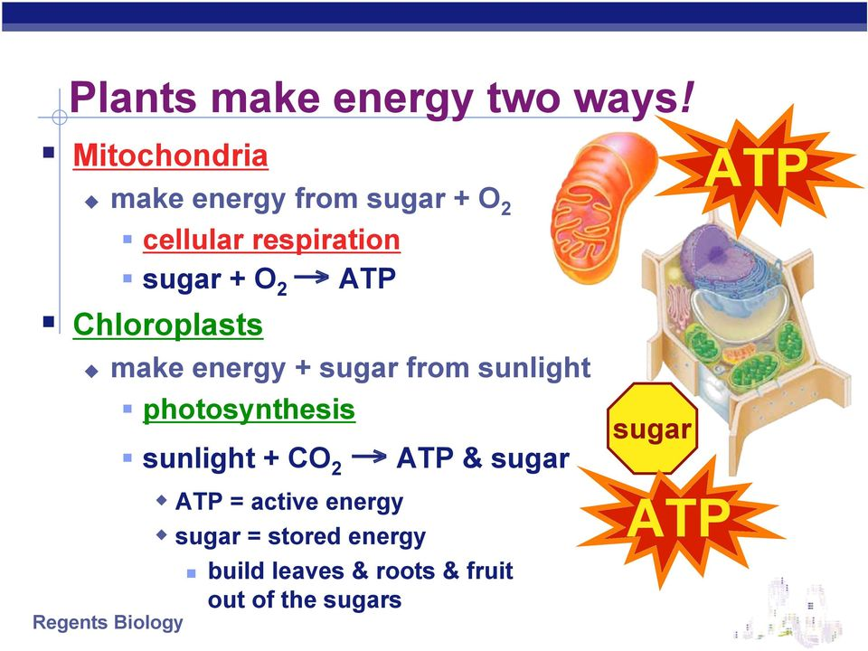 O 2 ATP Chloroplasts make energy + sugar from sunlight photosynthesis