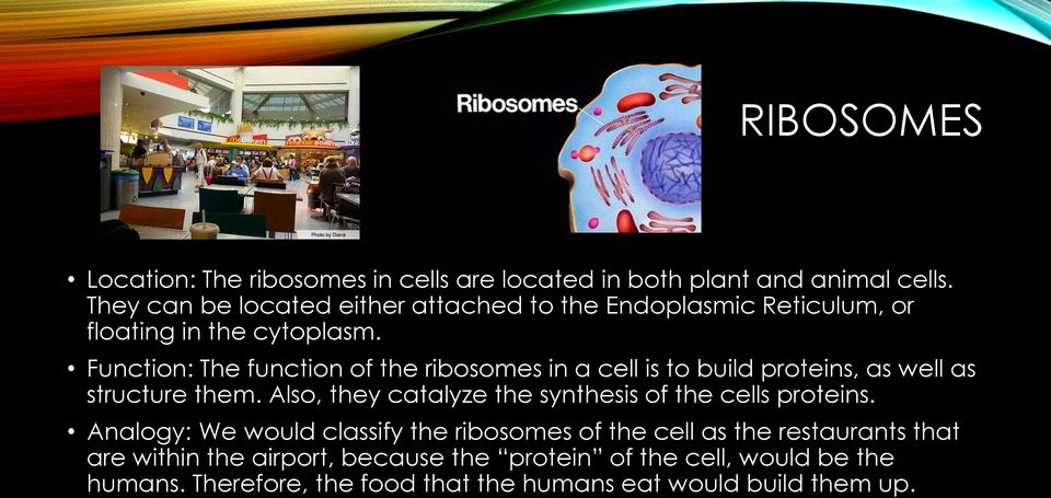 Function: The function of the ribosomes in a cell is to build proteins, as well as structure them.