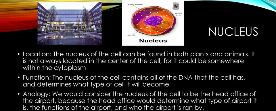 cell contains all of the DNA that the cell has, and determines what type of cell it will become.