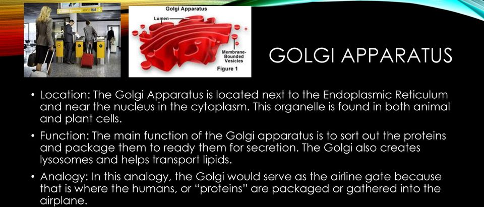 Function: The main function of the Golgi apparatus is to sort out the proteins and package them to ready them for secretion.