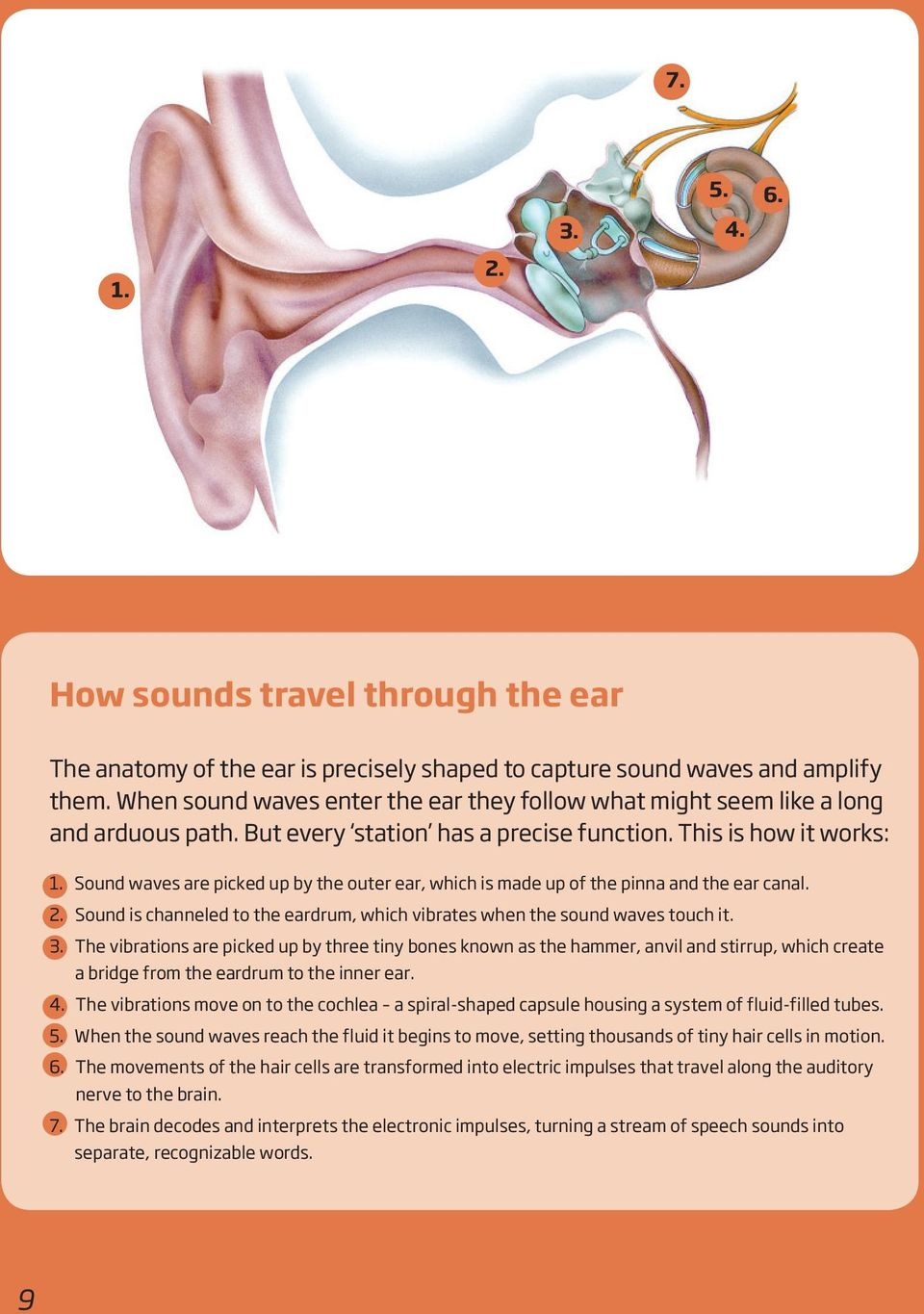Sound waves are picked up by the outer ear, which is made up of the pinna and the ear canal. 2. Sound is channeled to the eardrum, which vibrates when the sound waves touch it. 3.