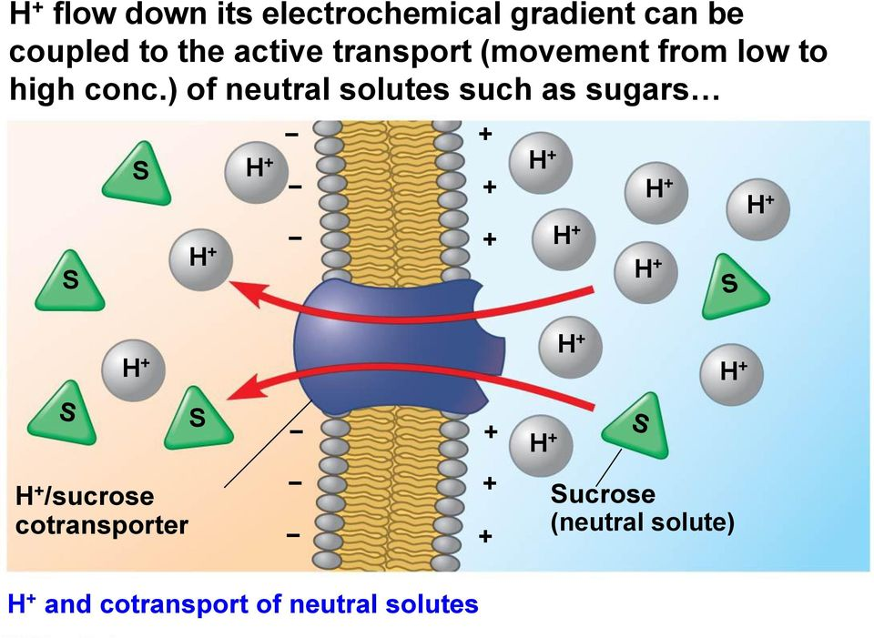) of neutral solutes such as sugars S S S /sucrose