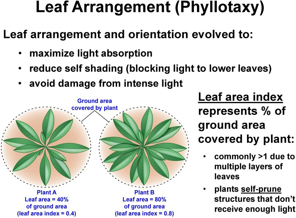 ground area covered by plant: Plant A Leaf area = 40% of ground area (leaf area index = 0.