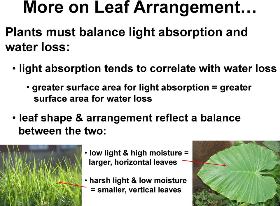 area for water loss leaf shape & arrangement reflect a balance between the two: low light &