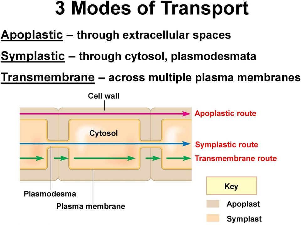 multiple plasma membranes Cell wall Apoplastic route Cytosol