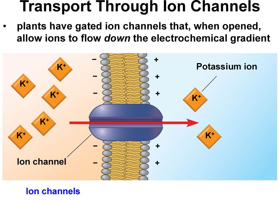 ions to flow down the electrochemical gradient