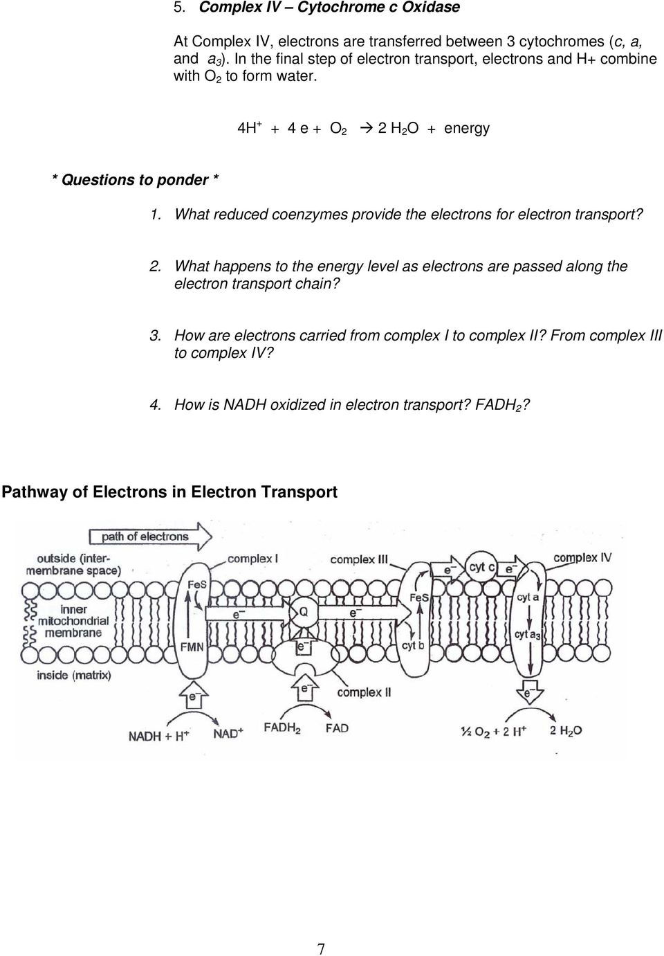 What reduced coenzymes provide the electrons for electron transport? 2.