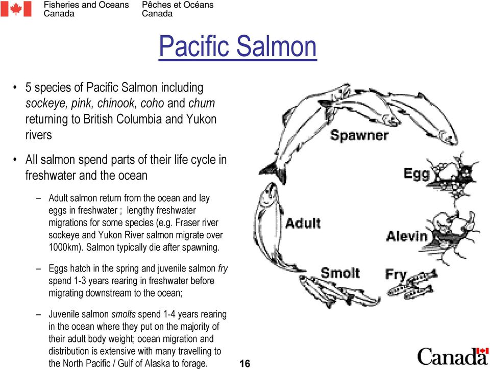Salmon typically die after spawning.