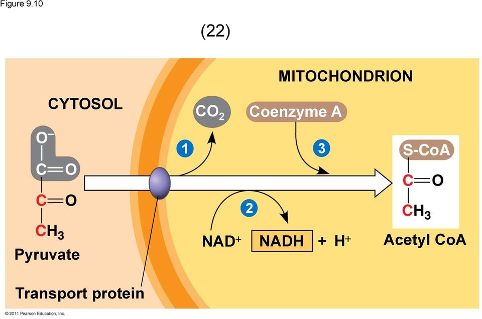 MITOCHONDRION Coenzyme A 1