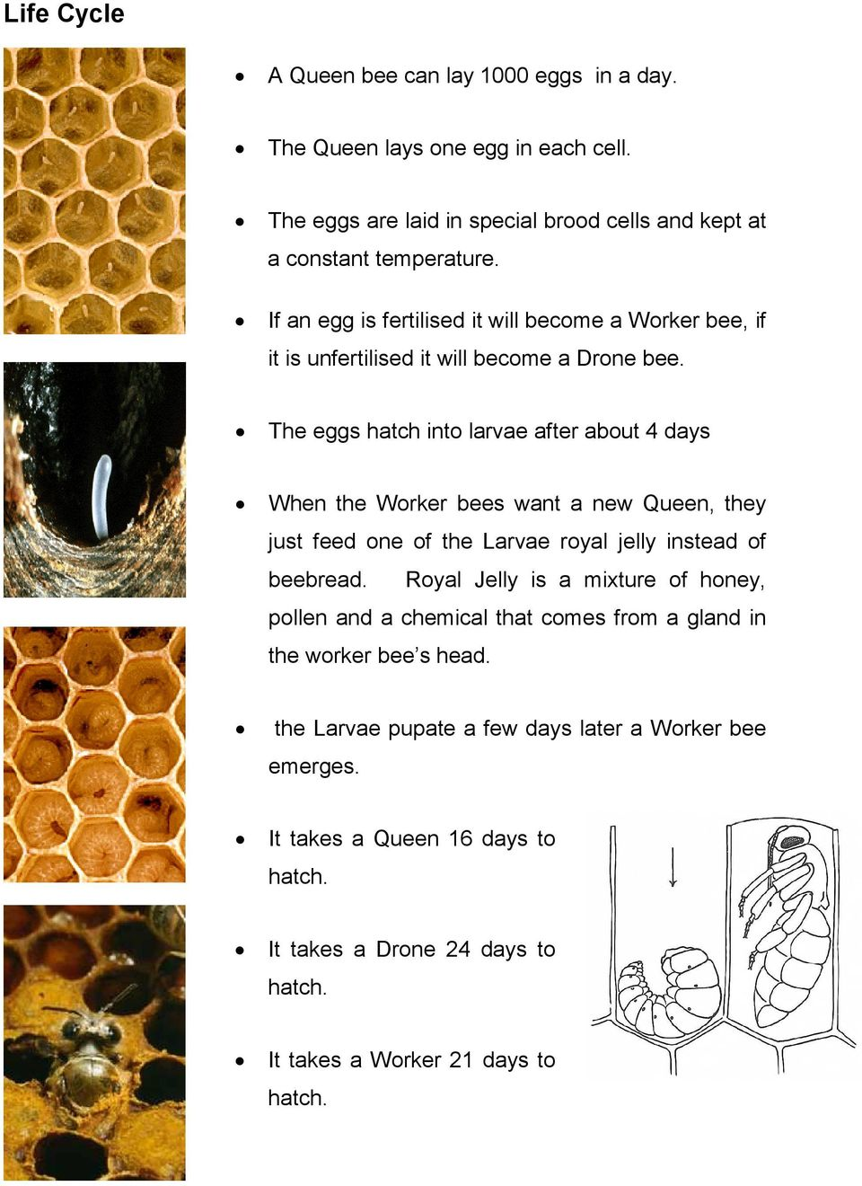 The eggs hatch into larvae after about 4 days When the Worker bees want a new Queen, they just feed one of the Larvae royal jelly instead of beebread.