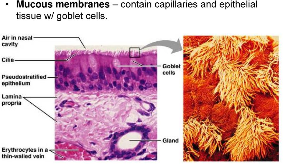 capillaries and