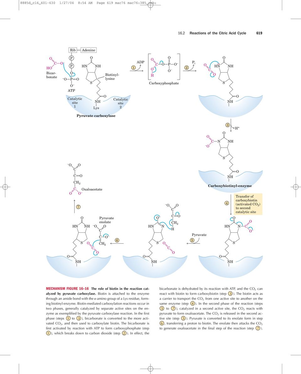 Pyruvate enolate 2 6 2 Pyruvate 5 arboxybiotinyl-enzyme 4 Transfer of carboxybiotin (activated 2 ) to second catalytic site MEAIM FIGURE 16 16 The role of biotin in the reaction catalyzed by pyruvate