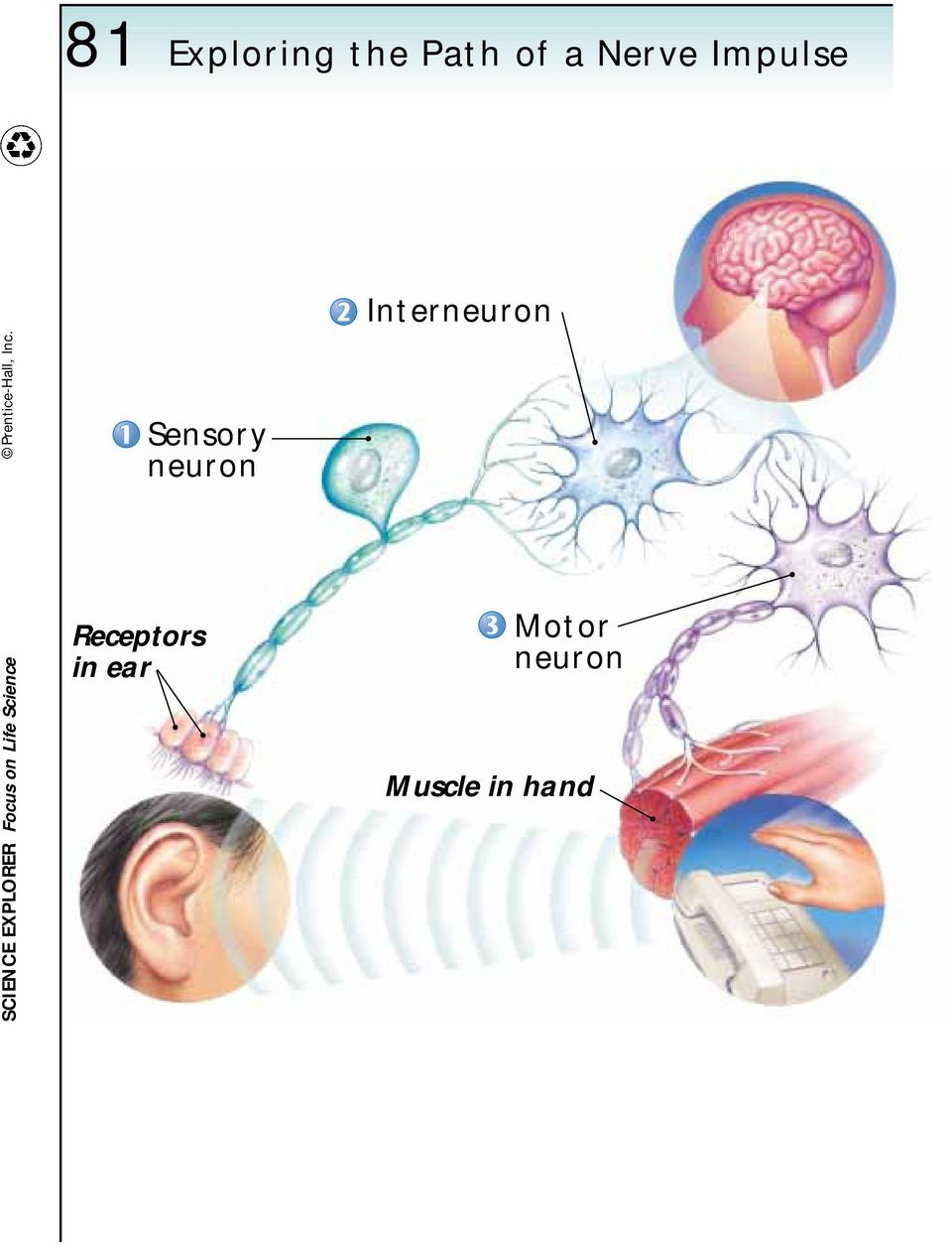 Sensory neuron Interneuron SCIENCE