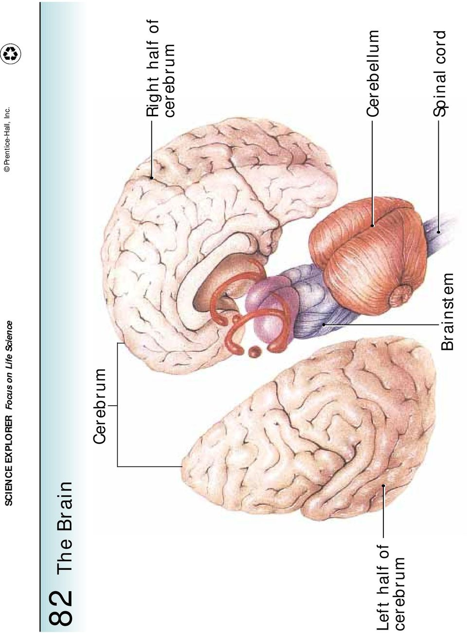 Left half of cerebrum