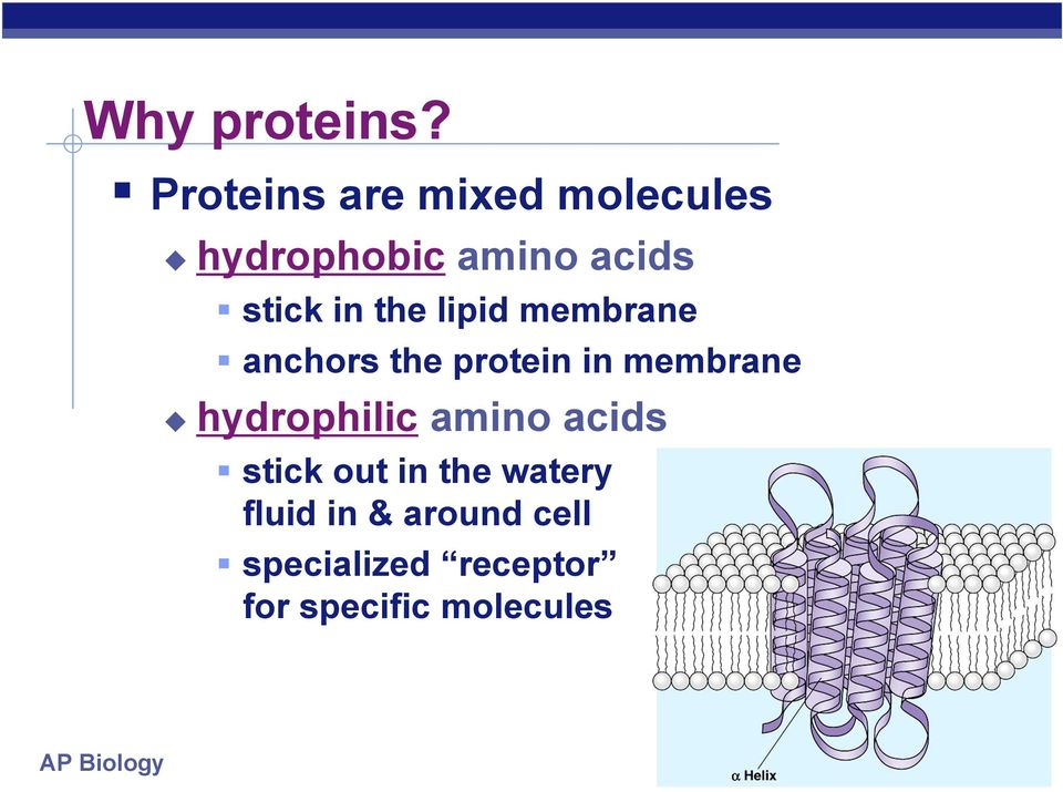 in the lipid membrane anchors the protein in membrane