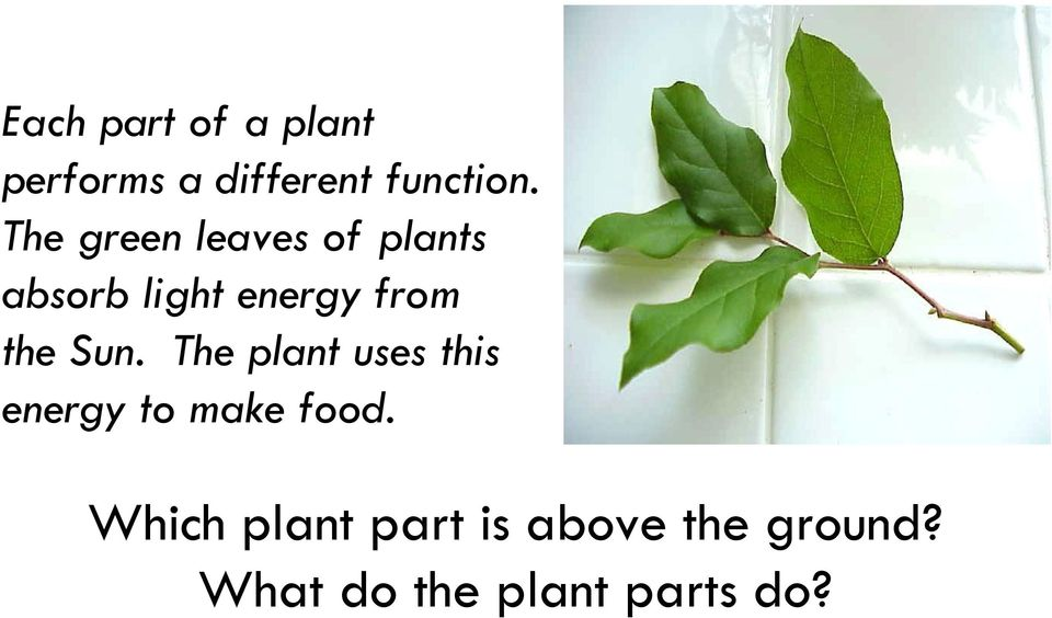 The plant uses this energy to make food.
