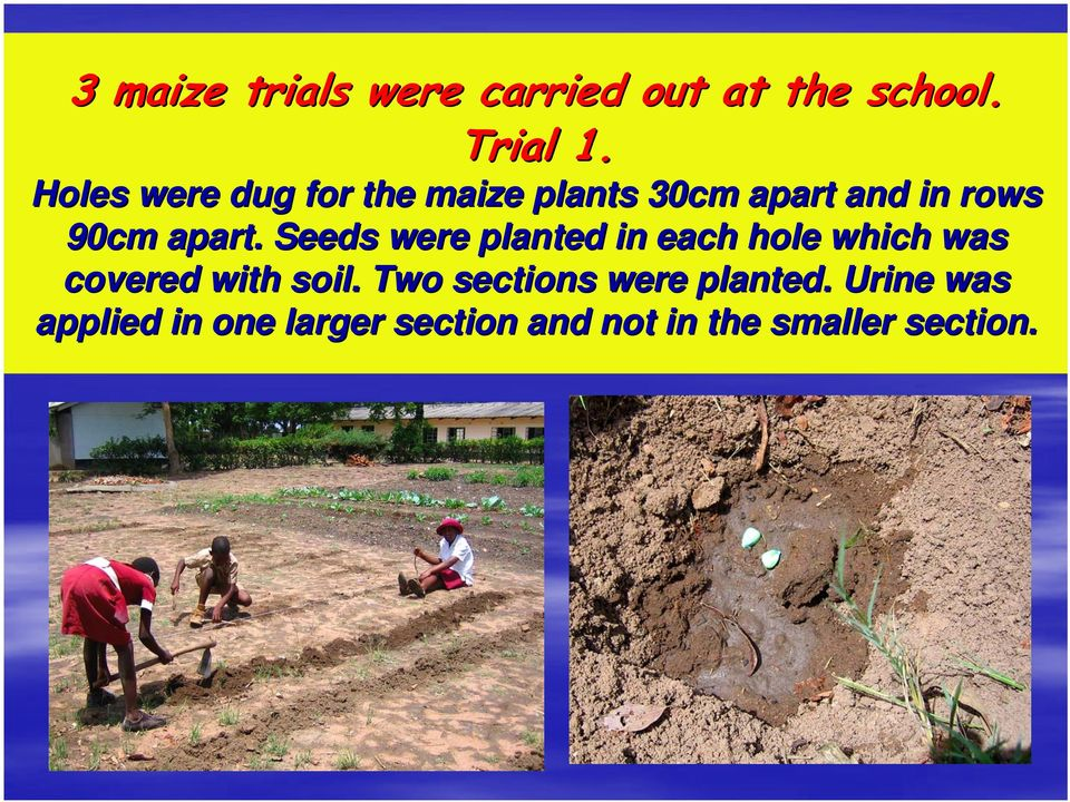 Seeds were planted in each hole which was covered with soil.