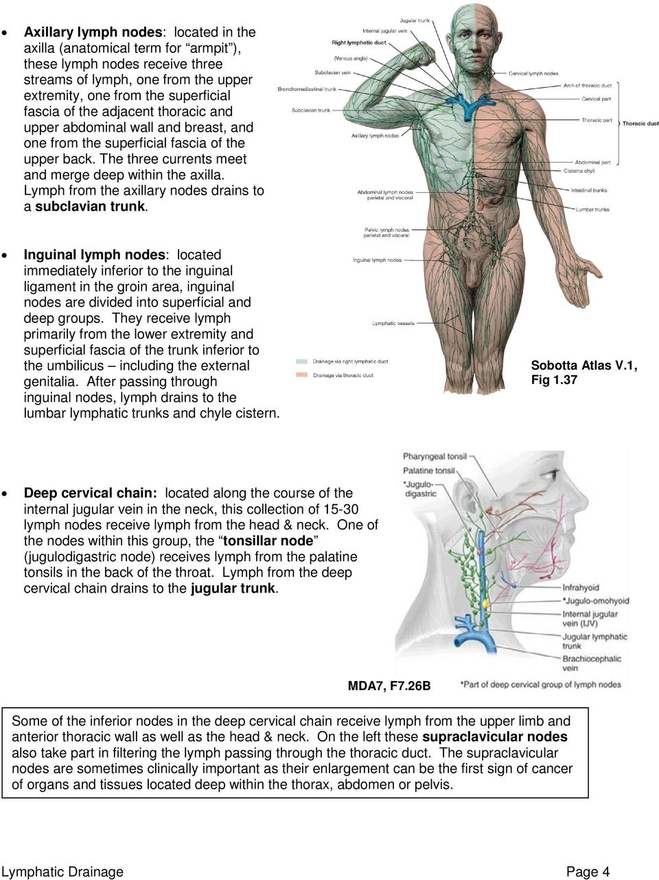 THE ANATOMY OF THE LYMPHATIC SYSTEM & LYMPHATIC DRAINAGE - PDF