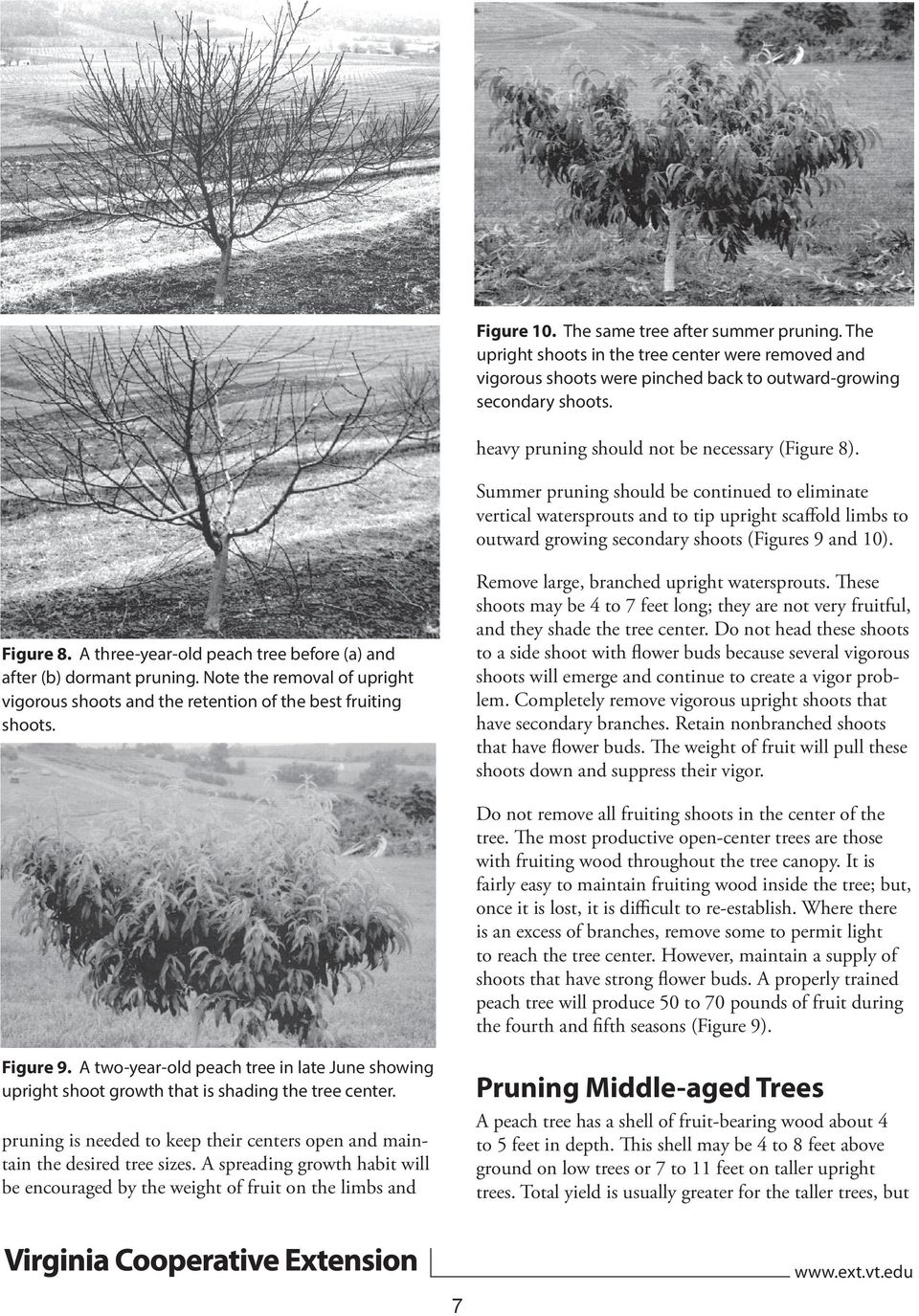 Summer pruning should be continued to eliminate vertical watersprouts and to tip upright scaffold limbs to outward growing secondary shoots (Figures 9 and 10).