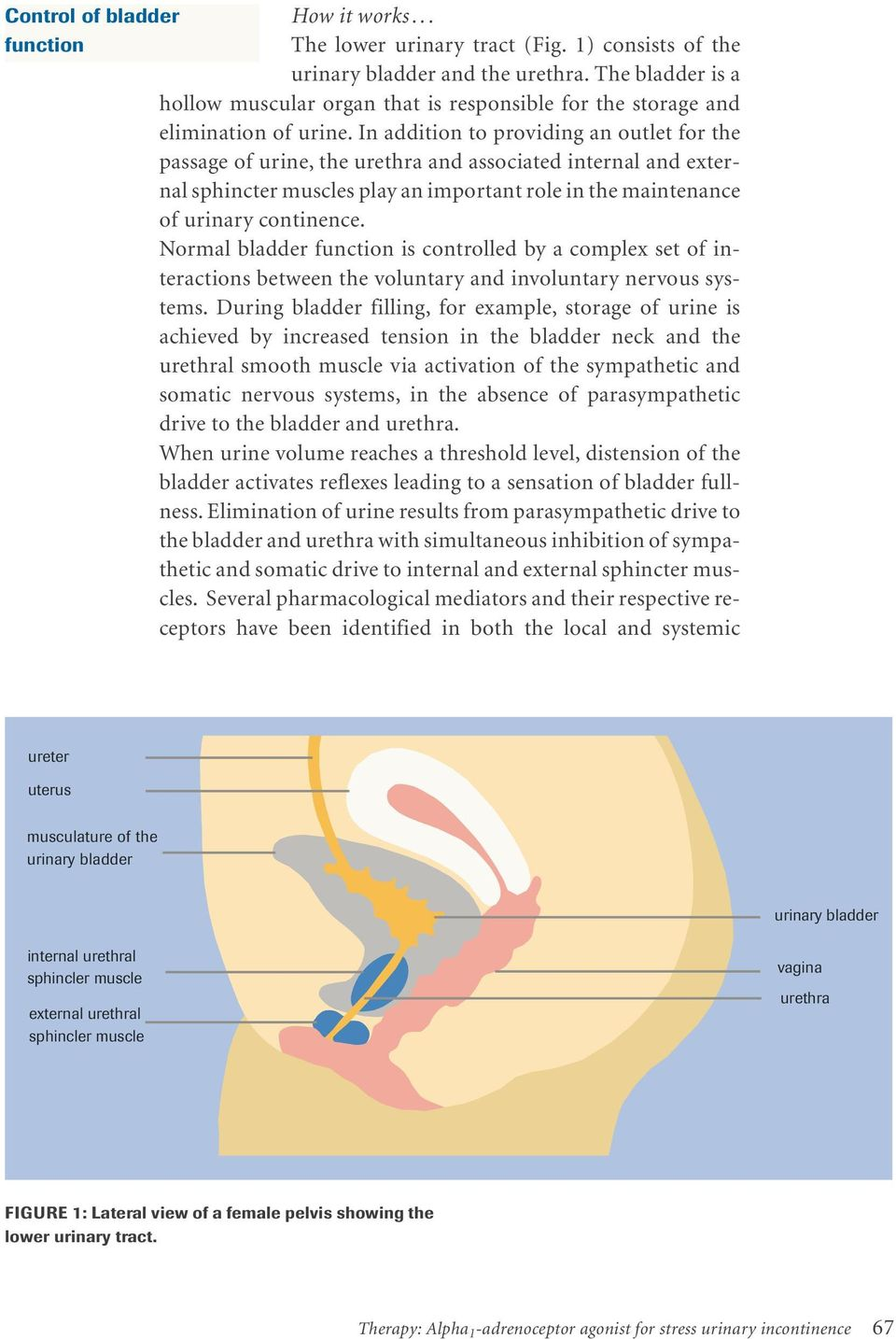 In addition to providing an outlet for the passage of urine, the urethra and associated internal and external sphincter muscles play an important role in the maintenance of urinary continence.