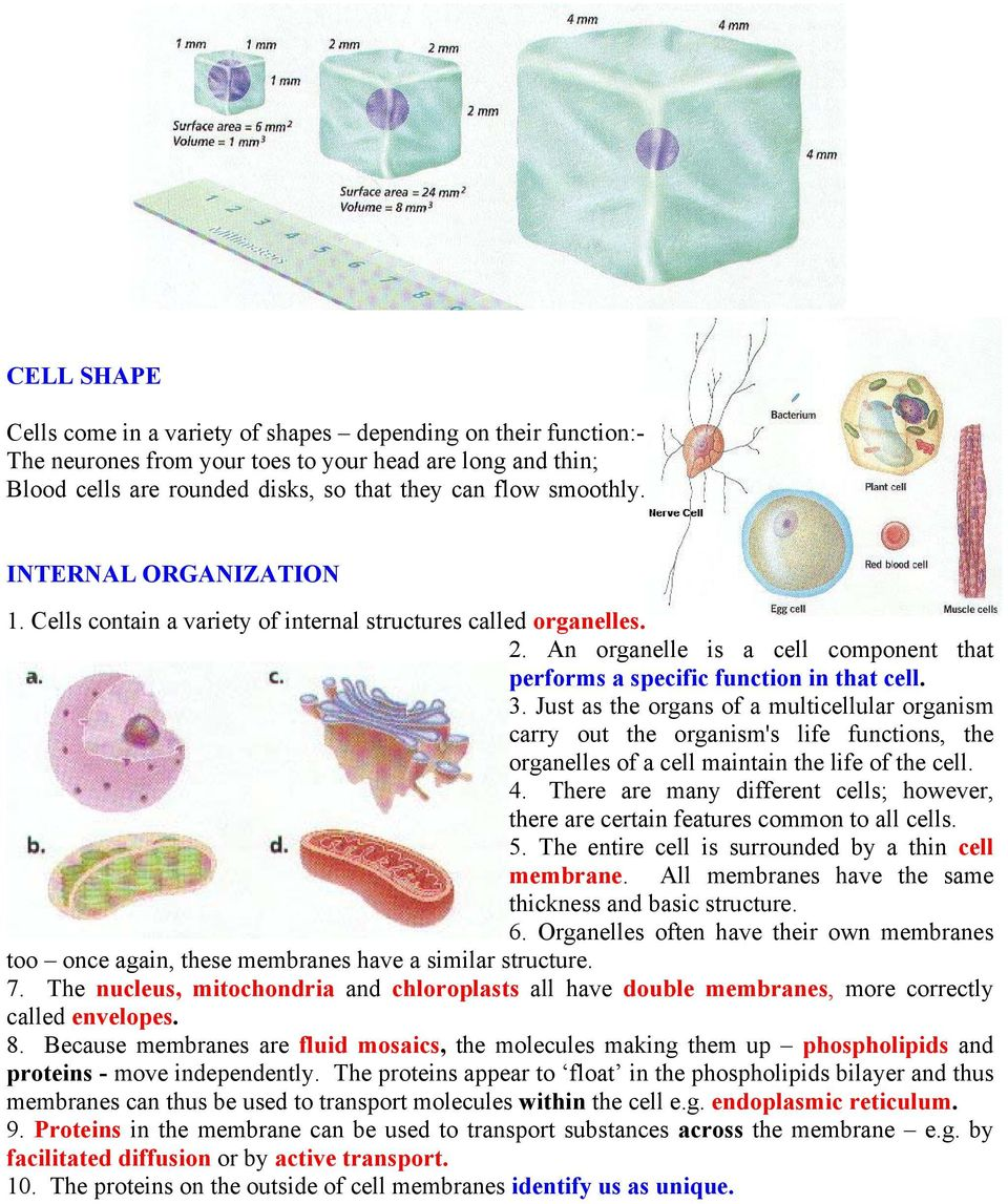 Just as the organs of a multicellular organism carry out the organism's life functions, the organelles of a cell maintain the life of the cell. 4.