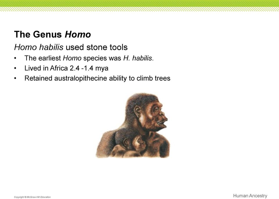 habilis. Lived in Africa 2.4-1.