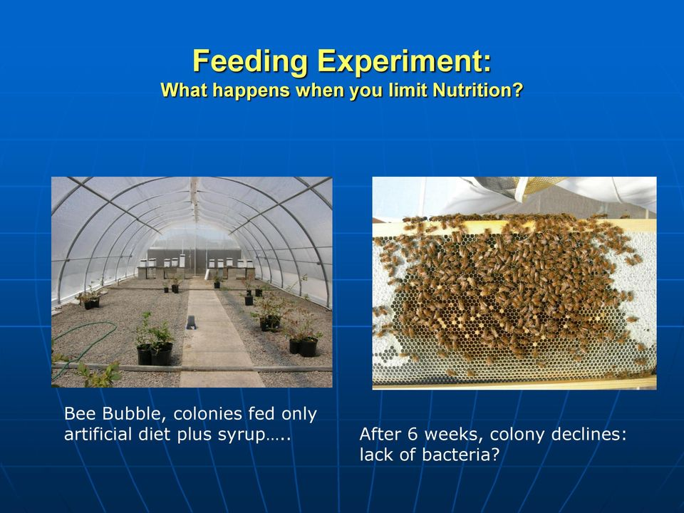 Bee Bubble, colonies fed only artificial