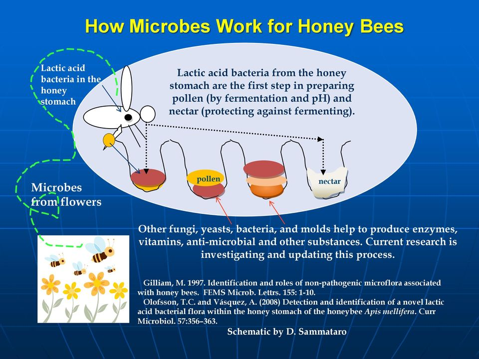 Current research is investigating and updating this process. Gilliam, M. 1997. Identification and roles of non-pathogenic microflora associated with honey bees. FEMS Microb. Lettrs. 155: 1-10.
