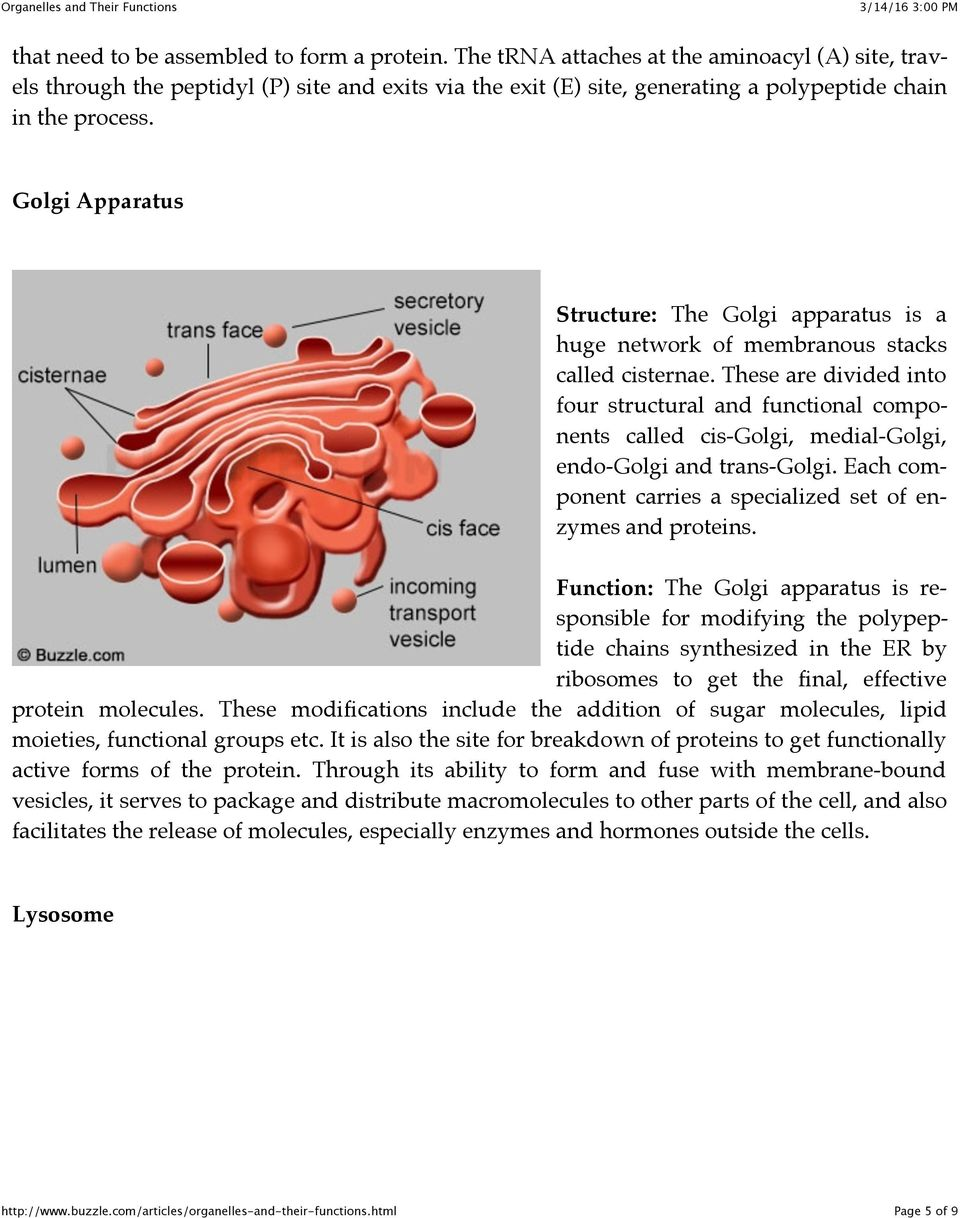 Golgi Apparatus Structure: The Golgi apparatus is a huge network of membranous stacks called cisternae.