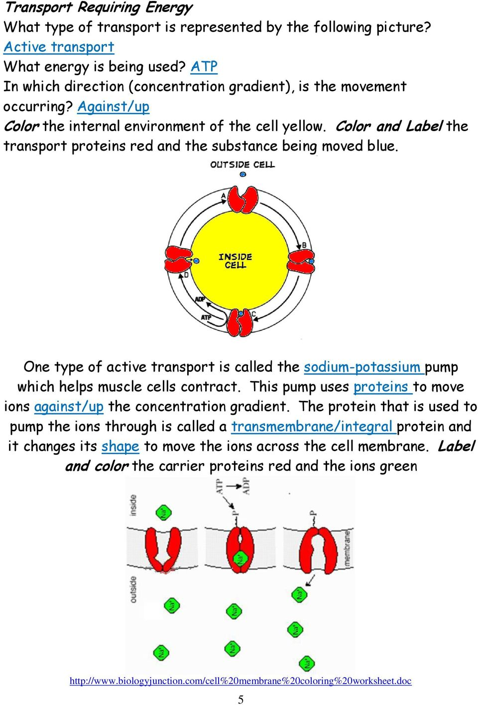 Color and Label the transport proteins red and the substance being moved blue. One type of active transport is called the sodium-potassium pump which helps muscle cells contract.