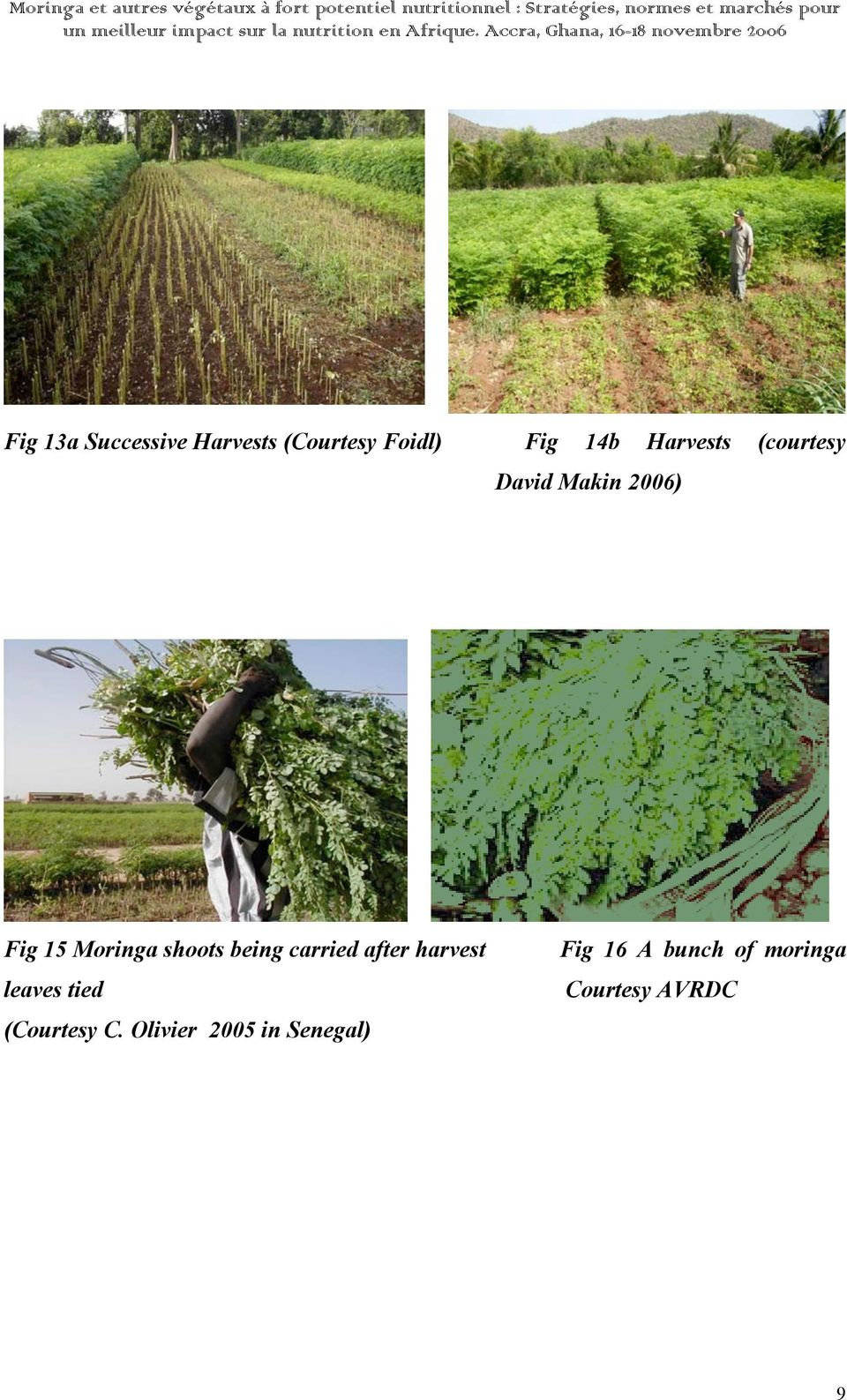 shoots being carried after harvest leaves tied (Courtesy