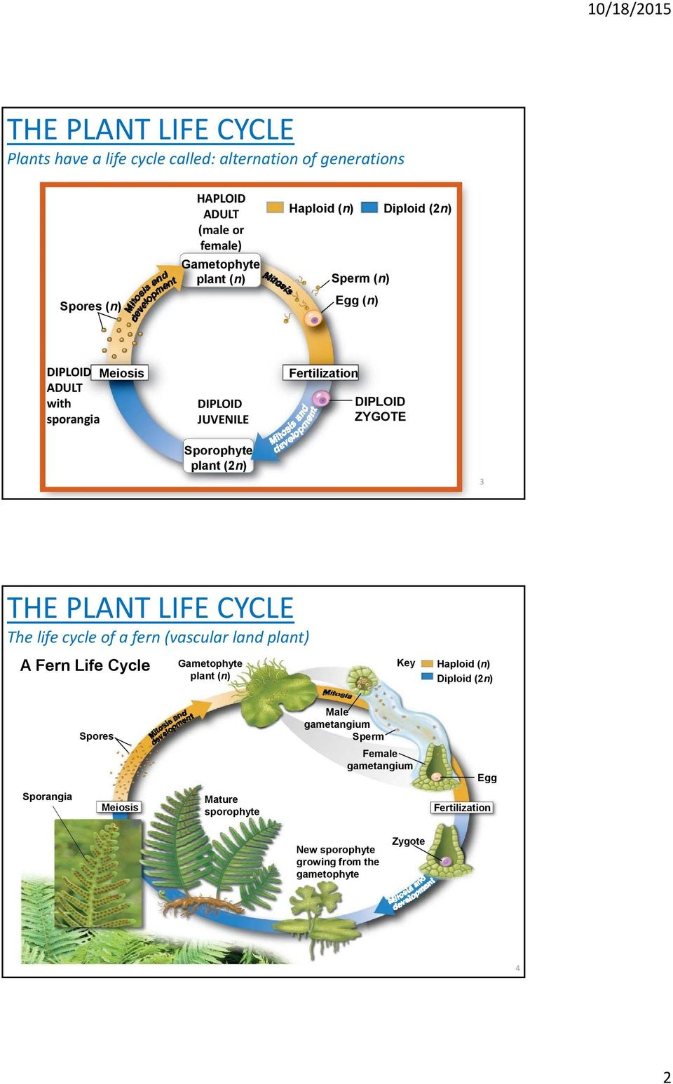 3 THE PLANT LIFE CYCLE The life cycle of a fern (vascular land plant) A Fern Life Cycle Gametophyte plant (n) Key Haploid (n) Diploid (2n) Spores