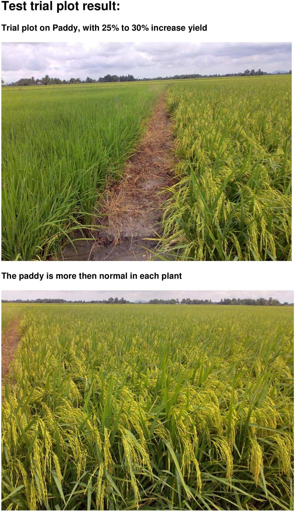 30% increase yield The paddy