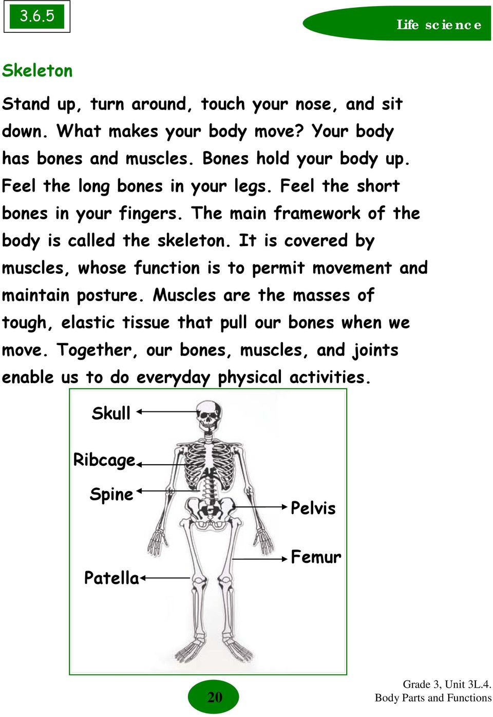 The main framework of the body is called the skeleton. It is covered by muscles, whose function is to permit movement and maintain posture.
