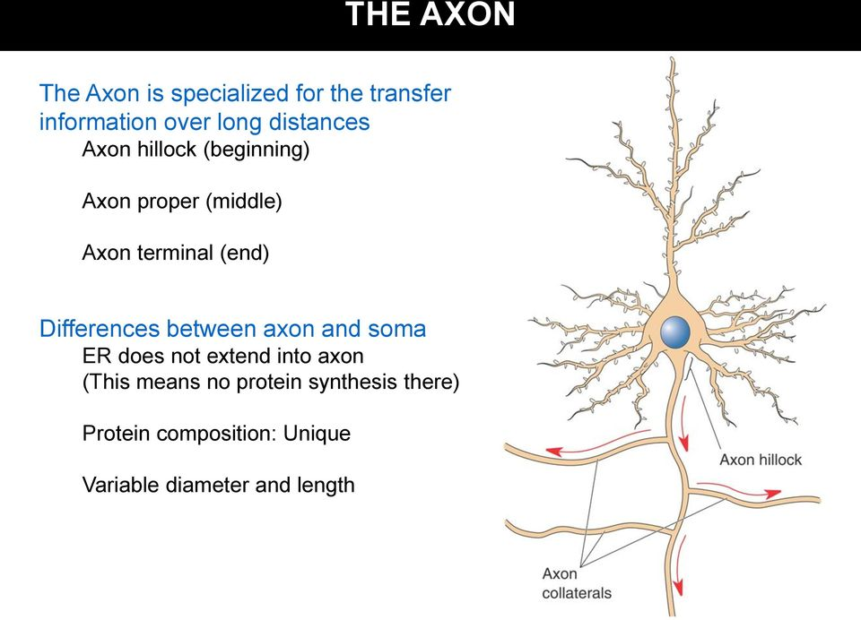 Differences between axon and soma ER does not extend into axon (This means