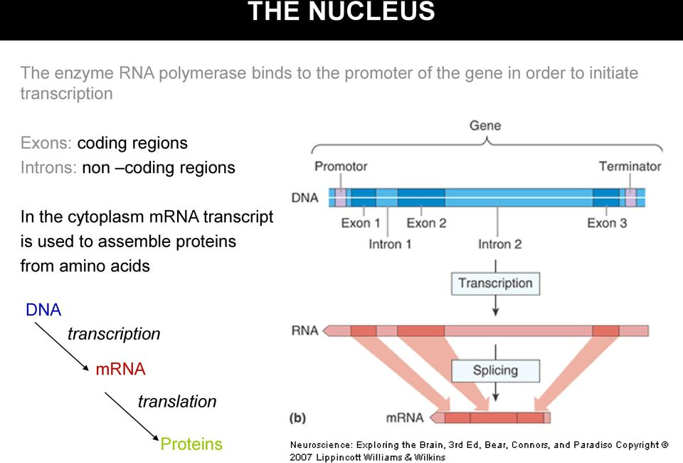 Introns: non coding regions In the cytoplasm mrna transcript is used